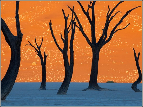 Camel Thorn Trees, Namibia