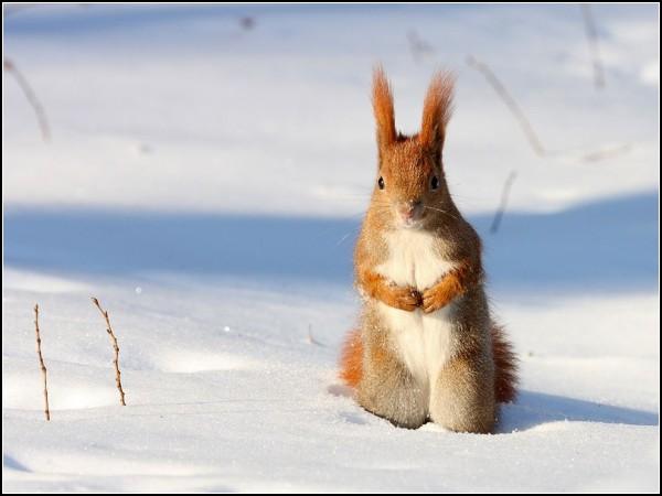 Red Squirrel, Poland