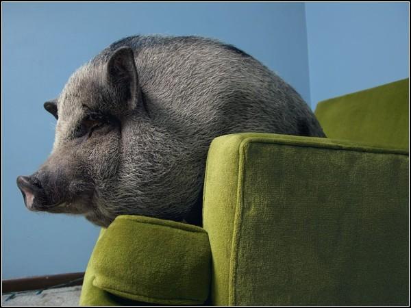 Vietnamese Potbellied Pig, Minnesota