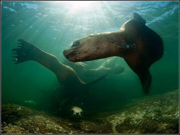 Steller Sea Lions, British Columbia