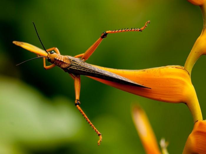 Grasshopper, Honduras