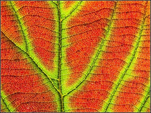 Viburnum Leaf