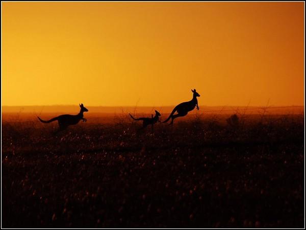 Eastern Gray Kangaroos, Australia