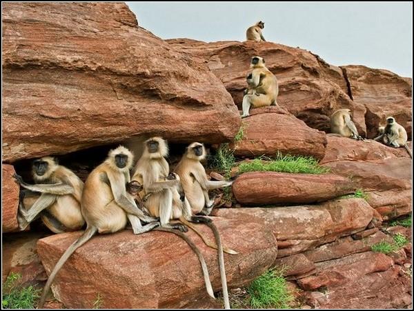 Babysitting Langurs, India