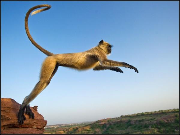 Leaping Langur, India