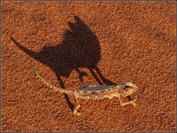Namaqua Chameleon, Namibia