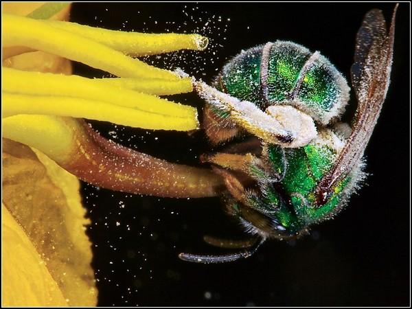 Sweat Bee, Arizona