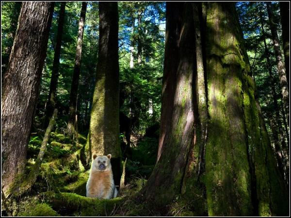 Kermode Bear, British Columbia
