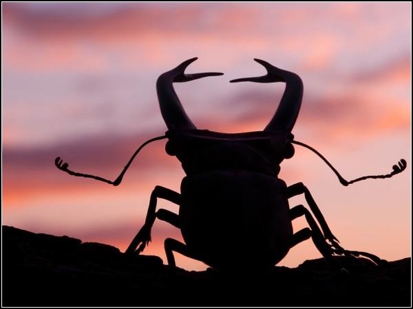 Stag Beetle, Sumatra