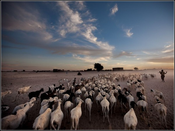 Sheep and Goats, Timbuktu