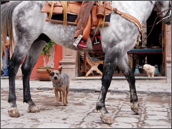 Blue Heeler, San Miguel de Allende