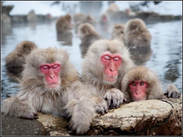Japanese Macaques, Nagano