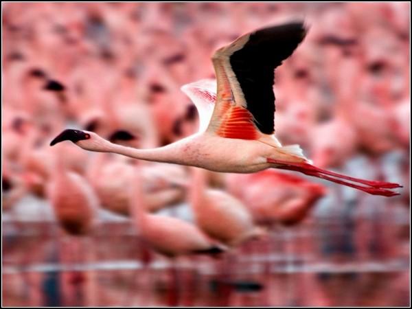 Flamingos, Kenya