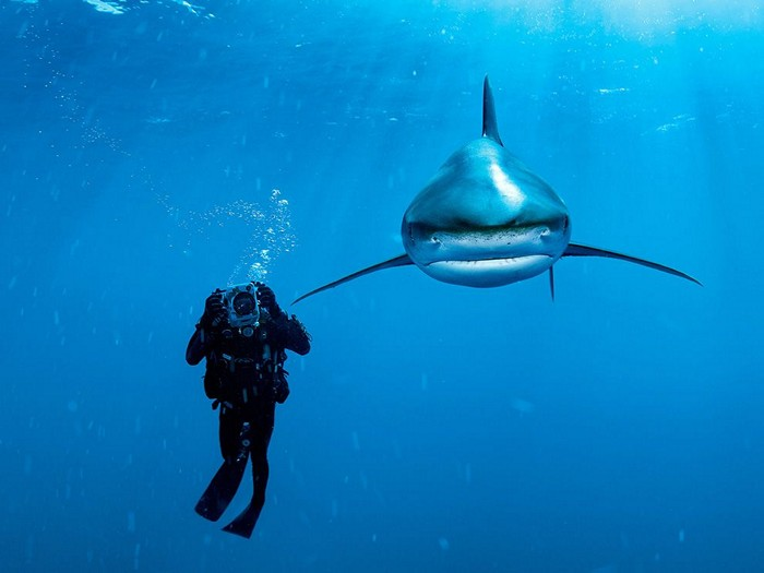 Oceanic Whitetip Shark, Bahamas