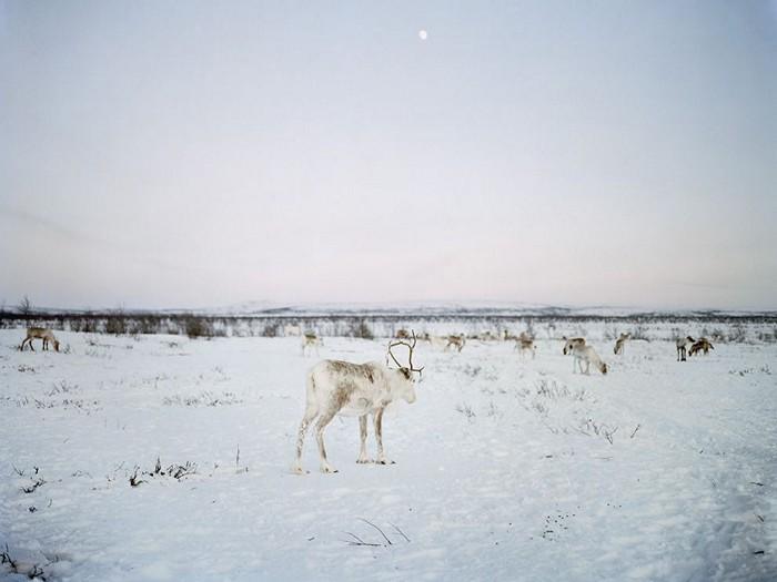 Reindeer, Scandinavia