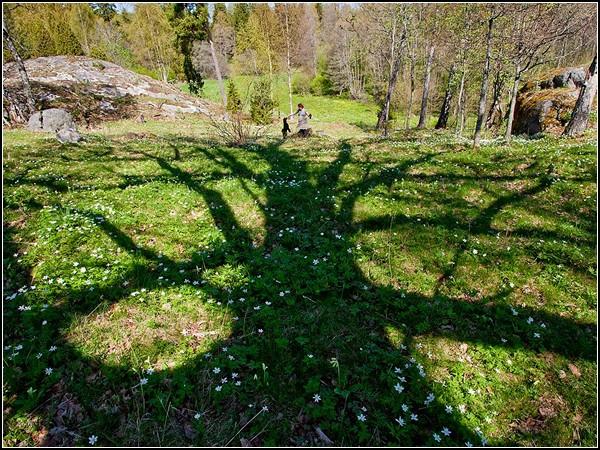 Oak Tree, Sweden