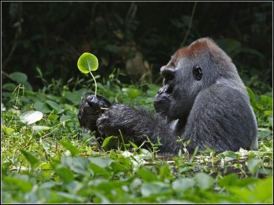 Silverback Gorilla, Africa