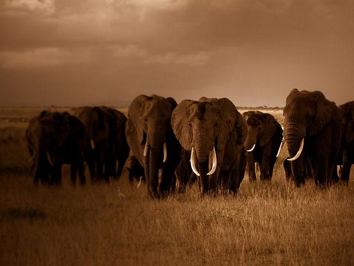Elephant Herd, Kenya