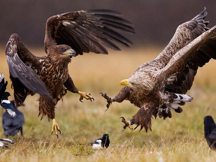 White-Tailed Eagles, Poland