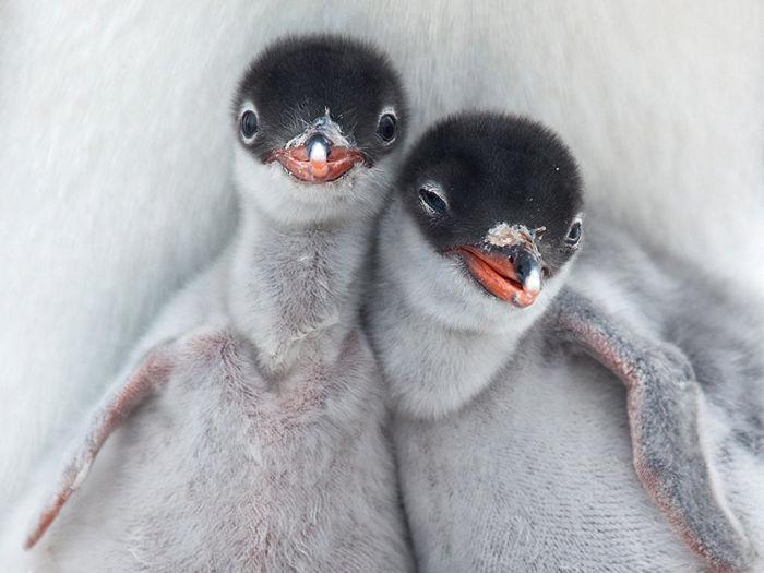 Gentoo Penguin Chicks, Antarctica