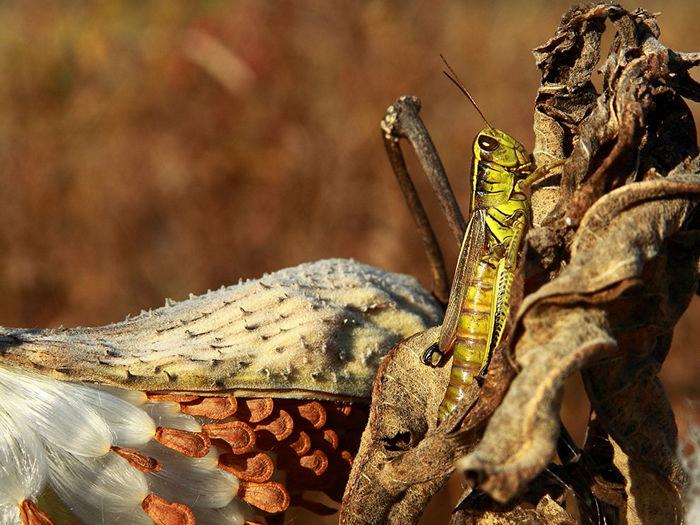 Grasshopper and Milkweed Pod
