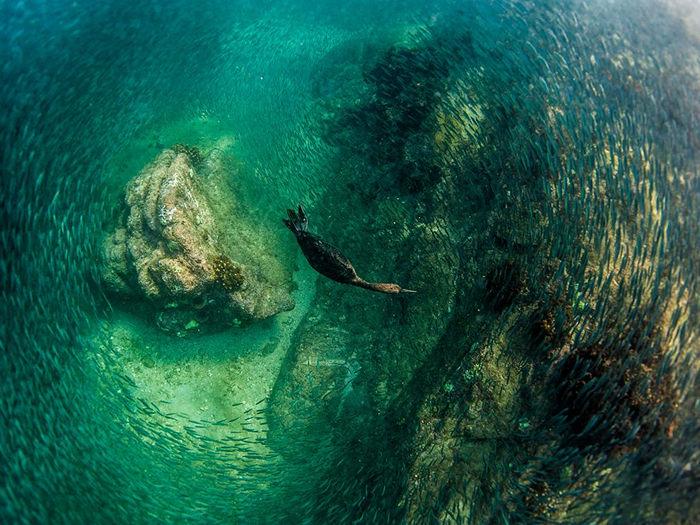 Diving Bird, Mexico