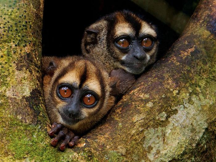 Noisy Night Monkeys, Ecuador