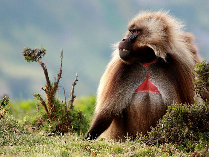Gelada, Simien Mountains