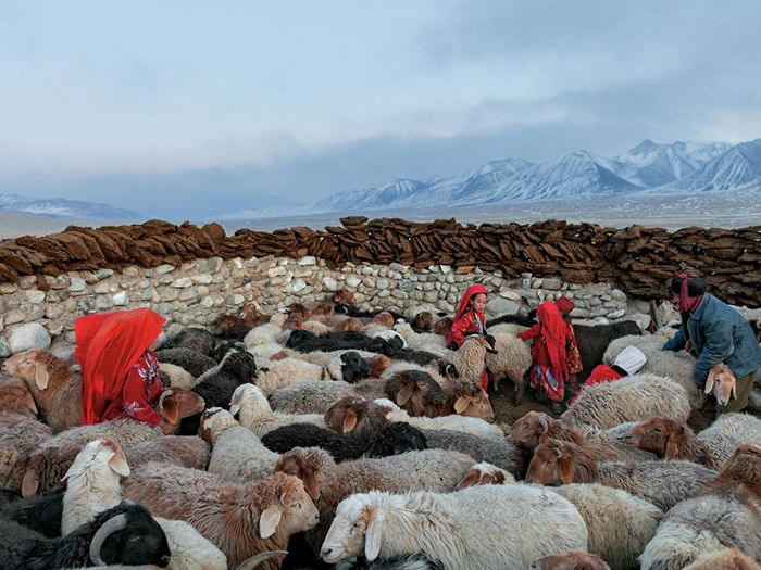 Sheep, Afghanistan