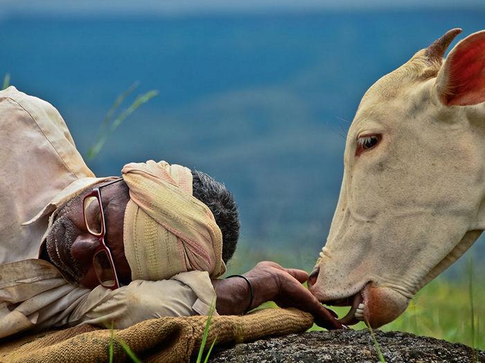 Cow and Shepherd, India