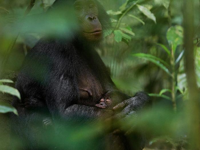 Bonobos, Democratic Republic of the Congo