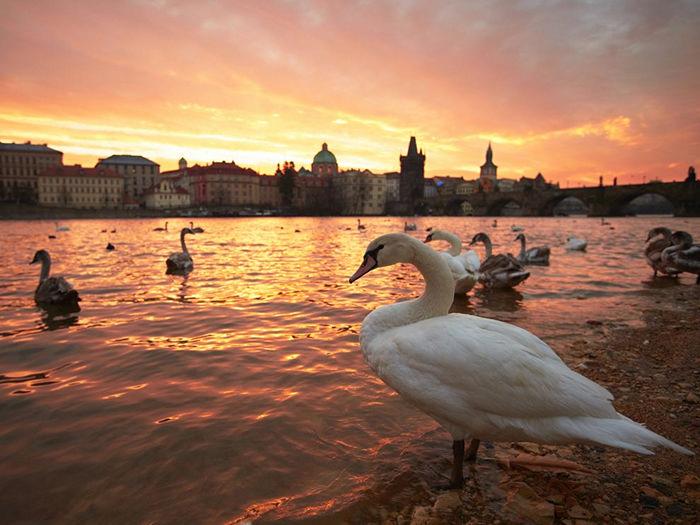 Swans, Prague