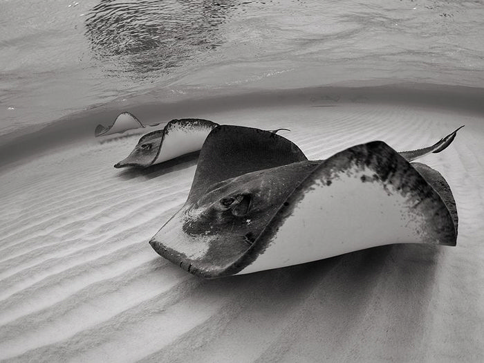 Stingrays, Grand Cayman
