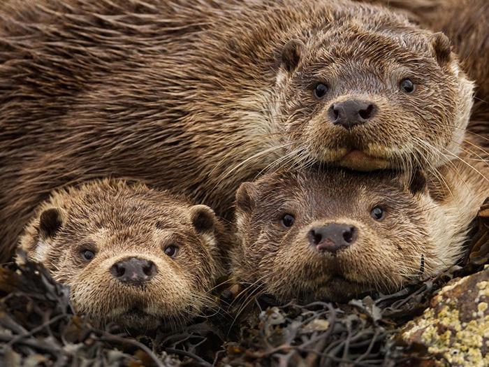 Eurasian Otters, Shetland Islands
