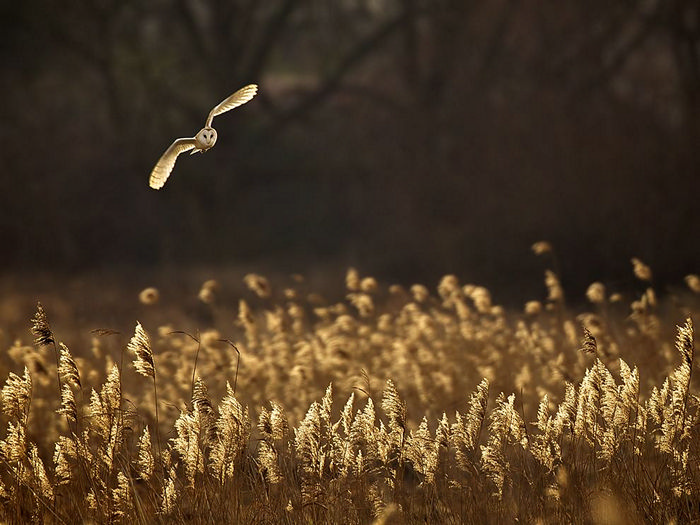 Barn Owl, United Kingdom