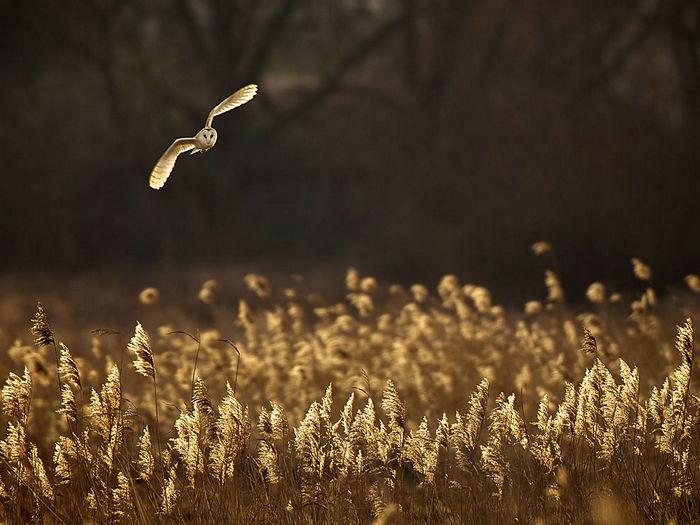Barn Owl, United Kingdom