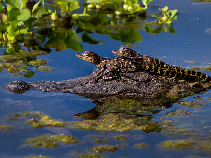 Alligators, Texas