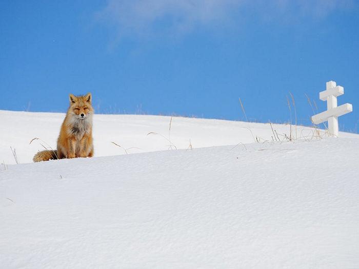 Fox, Aleutian Islands