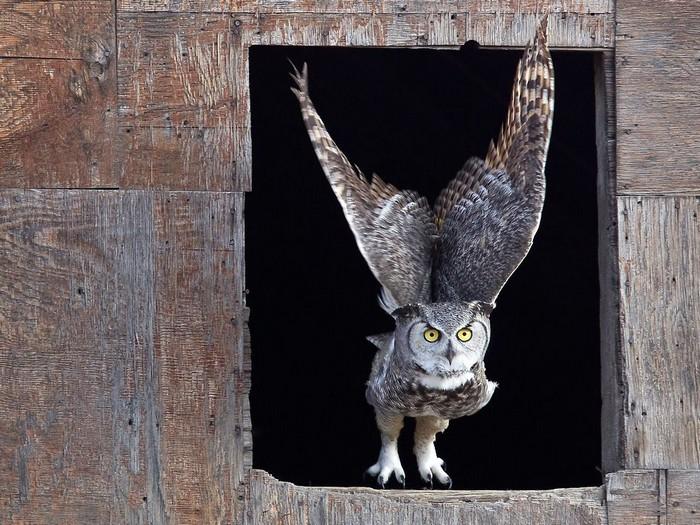 Horned Owl, Saskatchewan
