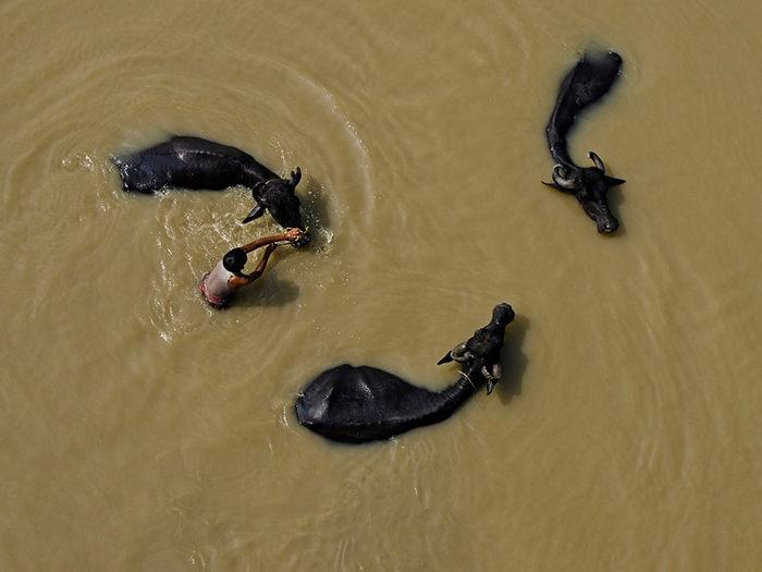 Water Buffaloes, India