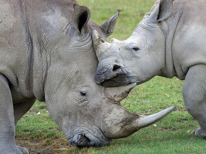 Носороги, Кения