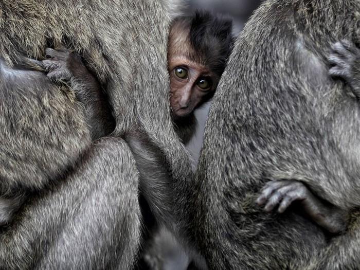 Monkeys, Indonesia
