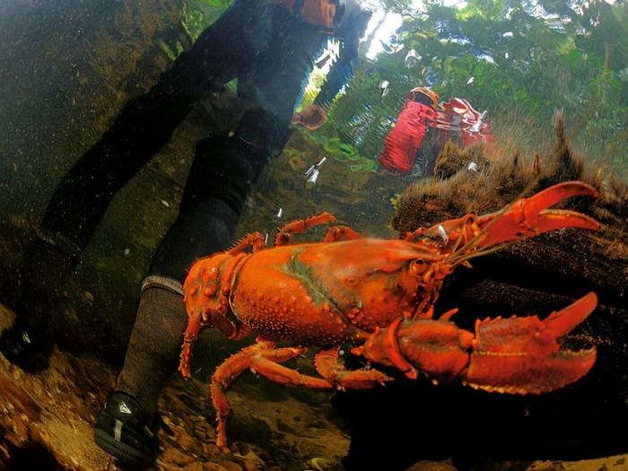 Crayfish, Australia