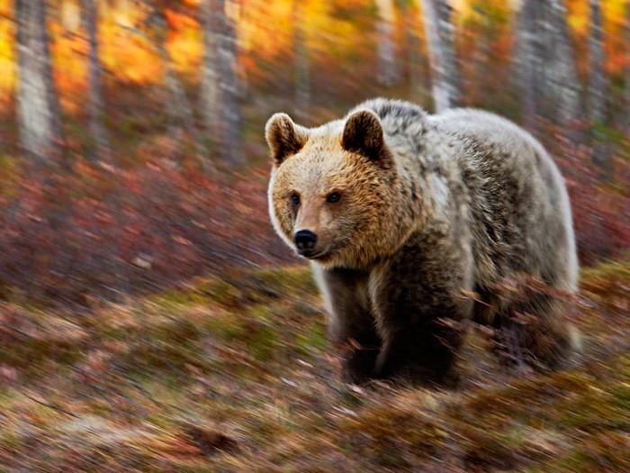 Bear, Finland