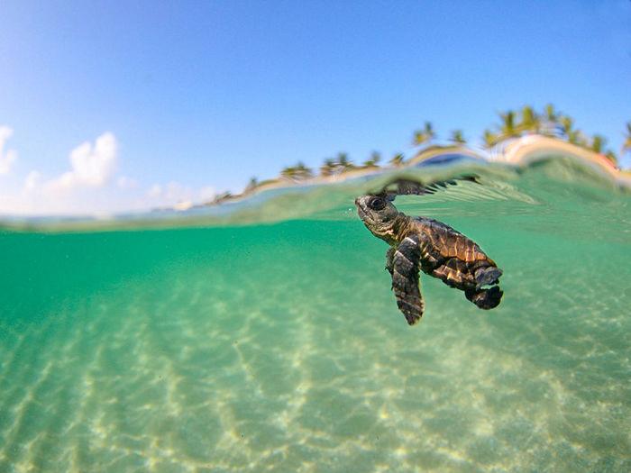 Loggerhead Sea Turtle, Florida