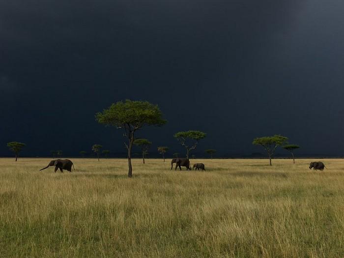 Elephants, Serengeti