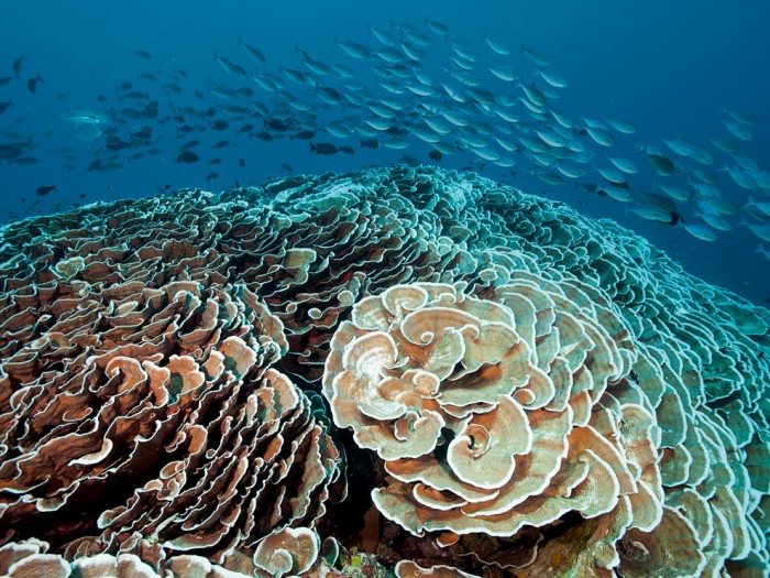 Cabbage Coral, Indonesia