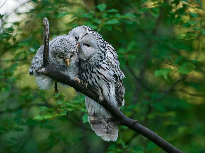 Ural Owls, Estonia