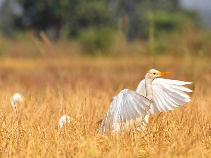 Cattle Egrets, India