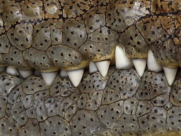 Crocodile, Serengeti